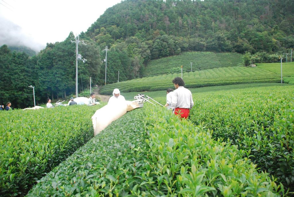 茶刈り機って、半分ずつ刈るんですね。