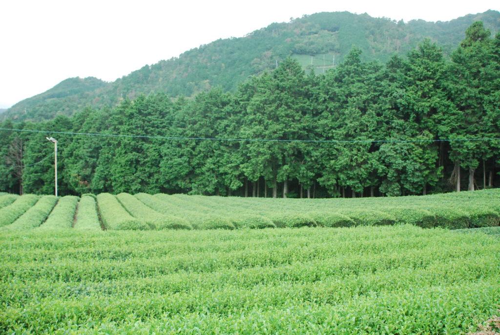 原山の茶畑は絶景☆